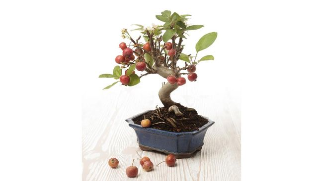 Berikut 5 tanaman hias bonsai buah yang dapat Anda nikmati buah serta keindahan tanamannya yang estetik.