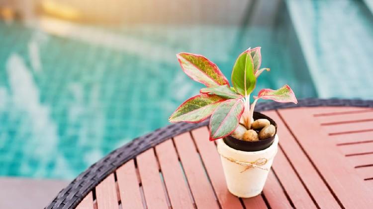 small plant,Aglaonema, in white pot on desk near swimming pool