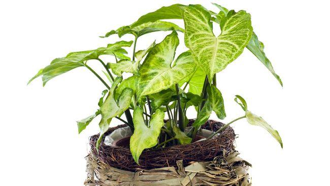 Meski tergolong murah, namun 5 tanaman hias bagus di bawah Rp100 ribu berikut ini tak akan mengecewakan lantaran bentuknya yang menarik.