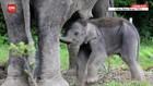 VIDEO: Lahirnya Bayi Gajah di Tangkahan
