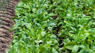Mustard, Sayuran yang Berhasil Ditanam di Luar Angkasa