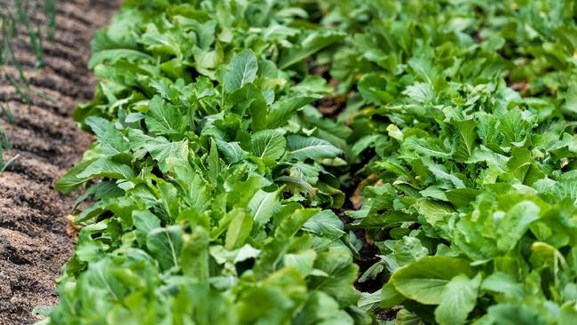 NASA Berhasil Menanam Sayur Mustard Green Di Luar Angkasa