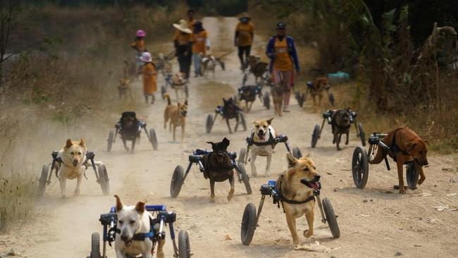 Shelter anjing disabilitas di Thailand merana karena terancam pandemi virus corona.