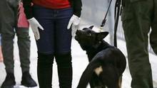 Militer India Latih Anjing Pelacak Deteksi Infeksi Corona