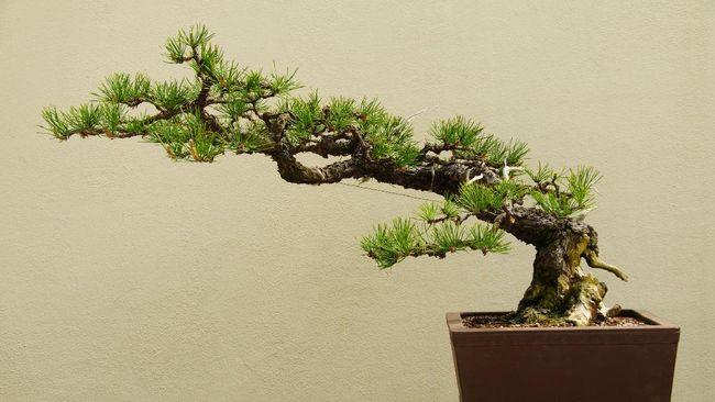Bonsai merupakan salah satu jenis tanaman hias termahal di dunia yang harganya bisa capai Rp18 miliar.