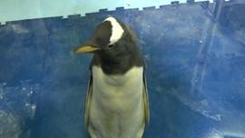 VIDEO: Kelahiran Bayi Penguin Antartika Pertama di Meksiko