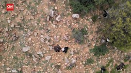 VIDEO: Diduga Makan Daging Beracun, 35 Burung Kondor Mati