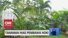 VIDEO: Tanaman Hias Pembawa Hoki