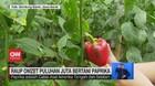 VIDEO: Raup Omzet Puluhan Juta Bertani Paprika