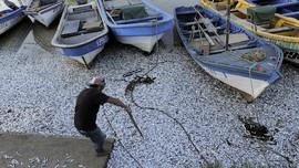 FOTO: Ribuan Ikan Sarden Mati Kekurangan Oksigen di Chile