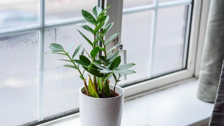 Zamioculcas is a tropical perennial plant native to eastern Africa.