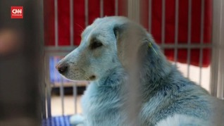 VIDEO: Fenomena Temuan Anjing Bulu Biru Gegerkan Rusia