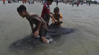 FOTO : Puluhan Paus Pilot Terdampar di Bangkalan