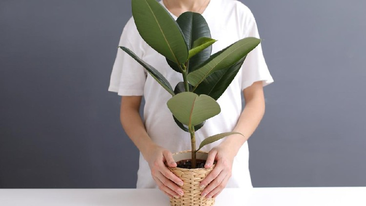 young woman in white t-shirt holds in her hands a wicker pot with a ficus flower. cropped photo. Decorative home plant. Casual lifestyle series in modern scandinavian interior