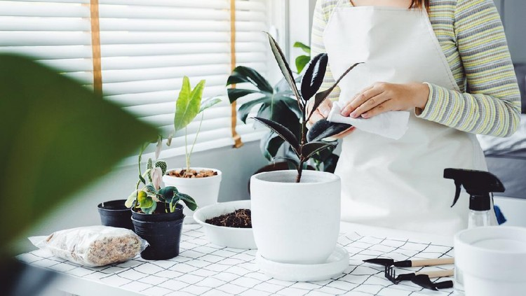 Asian Woman caring for Cleaning leaves in the morning at home houseplant care concept