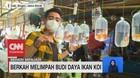 VIDEO: Berkah Melimpah Budi Daya Ikan KOI