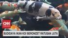VIDEO: Budidaya Ikan Koi Beromzet Ratusan Juta
