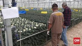 Ekspor Bunga Krisan Karo ke Jepang Melonjak Saat Corona