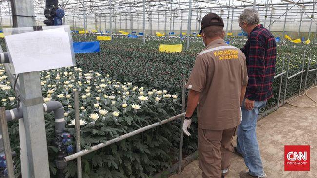 Karantina Pertanian Belawan mencatat ekspor bunga krisan asal Kabupaten Karo, Sumatera Utara (Sumut) ke Jepang mencapai hampir Rp1 miliar.