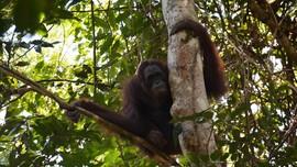 Nestapa Orangutan Tersingkir Tambang di Hutan Kalimantan
