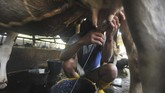 Lassy Dairy Farm menjadi salah satu peternakan di kaki Gunung Marapi, Sumatera Barat, yang memproduksi keju mozarella.