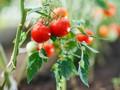 5 Tanaman yang Bisa Dimakan dan Tumbuh di Rumah