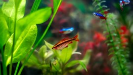 5 Ikan Hias Kecil Air Tawar yang Cantik dan Mudah Dipelihara