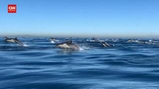 VIDEO: 2.000 Lumba-lumba Melaju di Lepas Pantai California