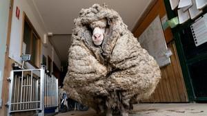 Domba Australia Berbulu Lebat Seberat 35 Kg Akhirnya Dicukur