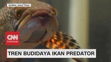 VIDEO: Tren Budidaya Ikan Predator