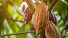 Desa Cokelat di Bali Ajak Turis Olah 'Kakao' dari Pohon