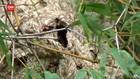 VIDEO: Koloni Tawon Vespa Ancam Petani di Ponorogo