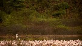 VIDEO: Permukaan Air Naik, Populasi Flamingo Terancam