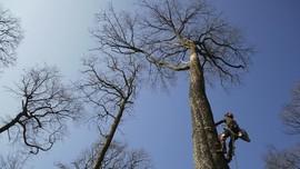 FOTO: Pohon 200 Tahun Ditebang untuk Katedral Notre-Dame
