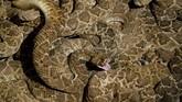Festival ular derik terbesar di AS yang dikenal dengan Rattlesnake RoundUp kembali digelar pada 13 Maret lalu di Nolan County Coliseum di Sweetwater, Texas.