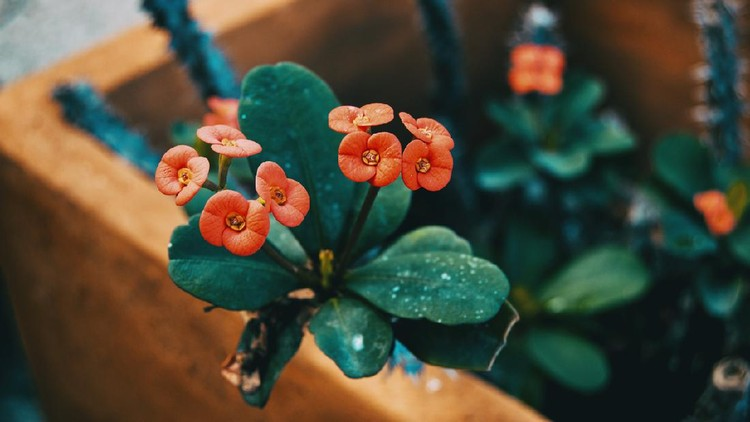 small red flowers of euphorbia milii