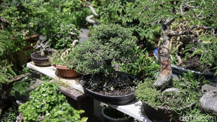 Seorang warga Kampung Bali, Jakarta Pusat, merintis budidaya tanaman bonsai mini. Tak main-main, cuan yang dihasilkan mencapai puluhan juta lho. Penasaran?