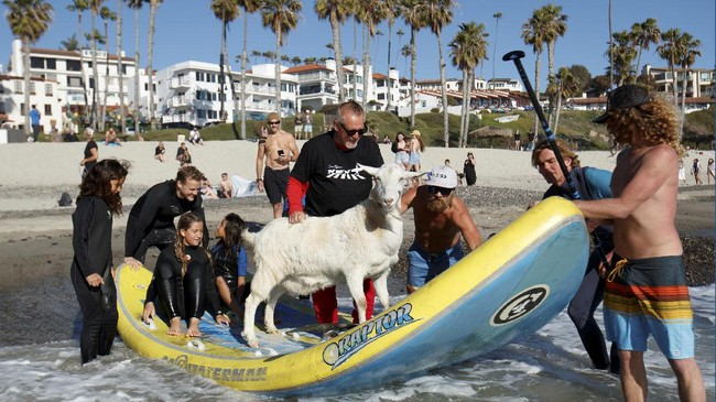 Seekor kambing membuat heboh karena ikut berselancar di sebuah pantai di California, Amerika Serikat.
