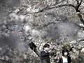 Perubahan Iklim di Balik Bunga Sakura Jepang Mekar Lebih Awal
