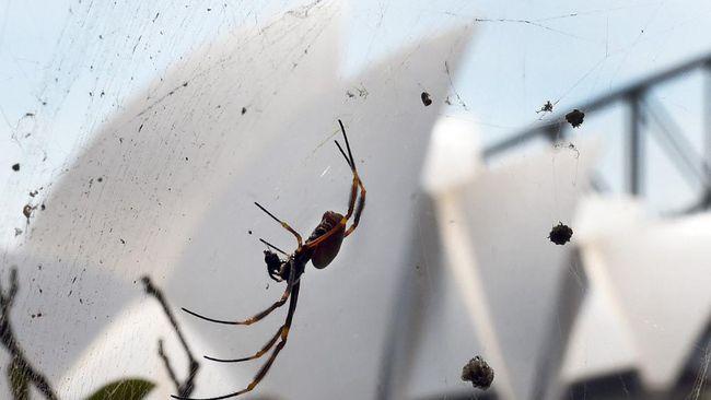 Setelah dilanda banjir, kini warga Australia dihantui 'wabah' laba-laba mematikan yang diperkirakan bakal masuk ke rumah penduduk karena kehilangan habitat.