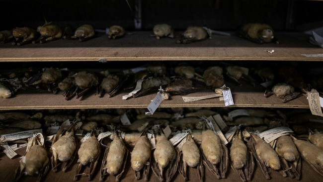 Para peneliti 'pemburu virus' dari Filipina melakukan perjalanan panjang ke hutan hujan yang lebat hanya untuk menangkap kelelawar.