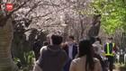 VIDEO: Duh, Indahnya Pemandangan Saat Bunga Sakura Bermekaran