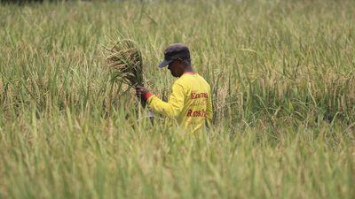 Update Terbaru, Harga Gabah Anjlok, Sumsel Imbau Petani Tak Jual Semua Panen