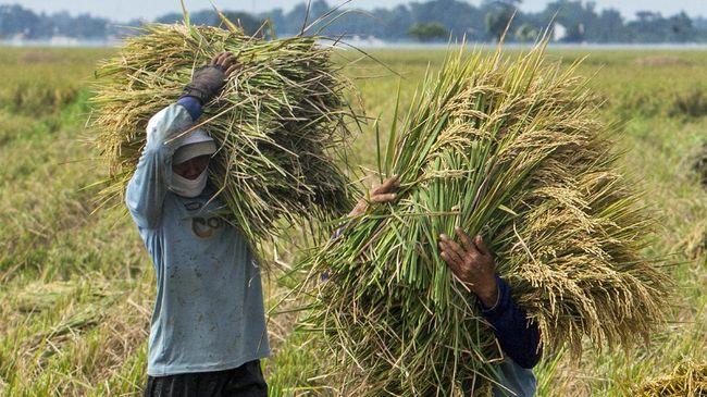 BPS mengungkap neraca beras nasional pada Mei 2021 tercatat surplus 3,6 juta ton, ditopang curah hujan yang tinggi dan luas panen padi.
