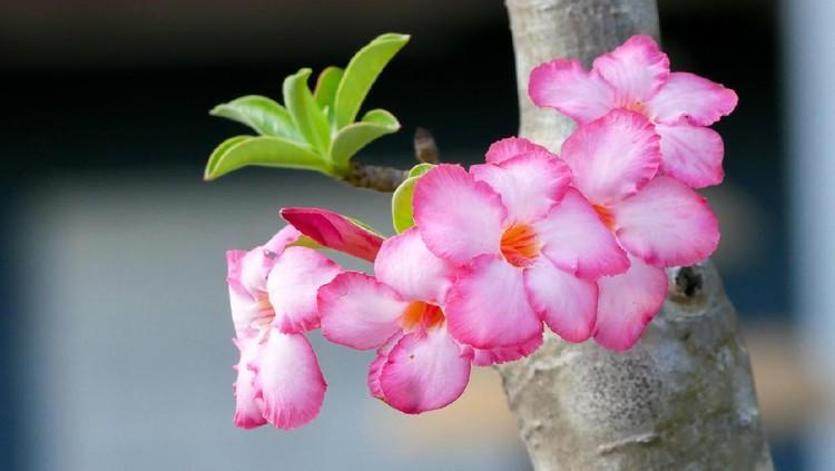 Pink rose Adenium, Desert Rose, flower blossom in the gardenPink rose Adenium, Desert Rose, flower blossom in the garden