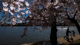 FOTO: Indahnya Bunga Sakura Mekar di Washington