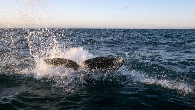 Sekelompok paus abu raksasa menarik perhatian turis-turis yang sedang menikmati pemandangan di perairan Baja California, Meksiko, dari atas kapal.