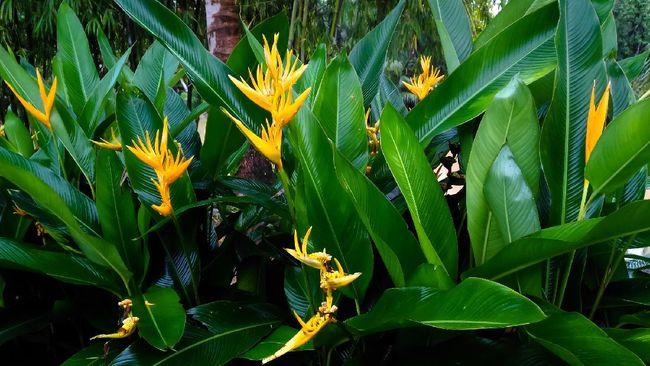 Tanaman pisang-pisangan bisa membuat rumah jadi lebih teduh dan cocok menjadi pagar hidup. Berikut jenis tanaman hias pisang-pisangan yang bisa jadi referensi.
