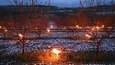 Ratusan hingga ribuan lilin menyala di sekitar perkebunan anggur Prancis. Lilin dinyalakan untuk melindungi perkebunan dari ancaman dinginnya salju pekan ini.