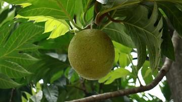 buah sukun 1 169